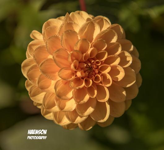 Haenson-Fotokurse-für-Anfänger-und-Fortgeschrittene-Dalie