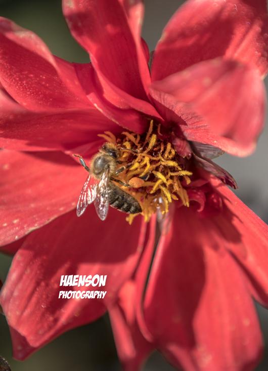 Haenson-Fotokurse-für-Anfänger-und-Fortgeschrittene-macro-Biene-in-Blüte