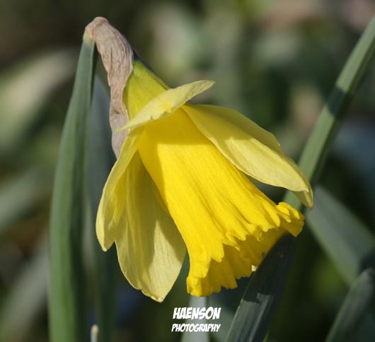 Osterglocken-blühen-im-Gartenschaugelände